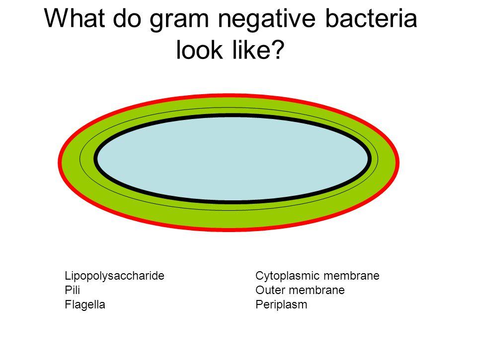 What do gram negative bacteria look like
