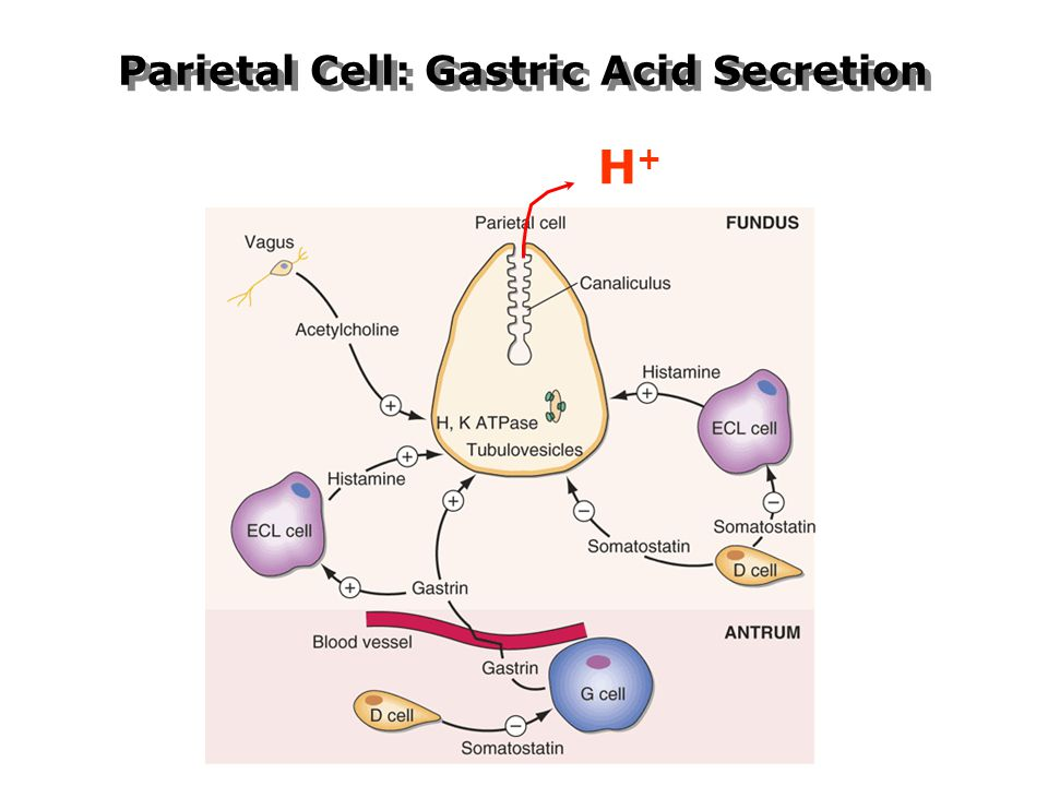 Parietal Cell: Gastric Acid Secretion