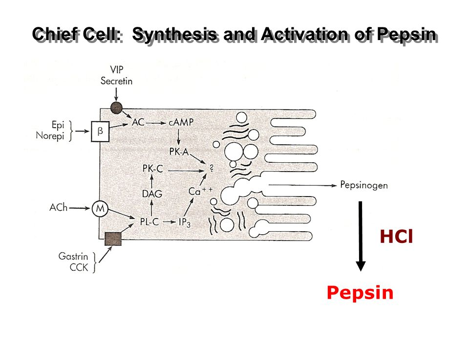 Chief Cell: Synthesis and Activation of Pepsin