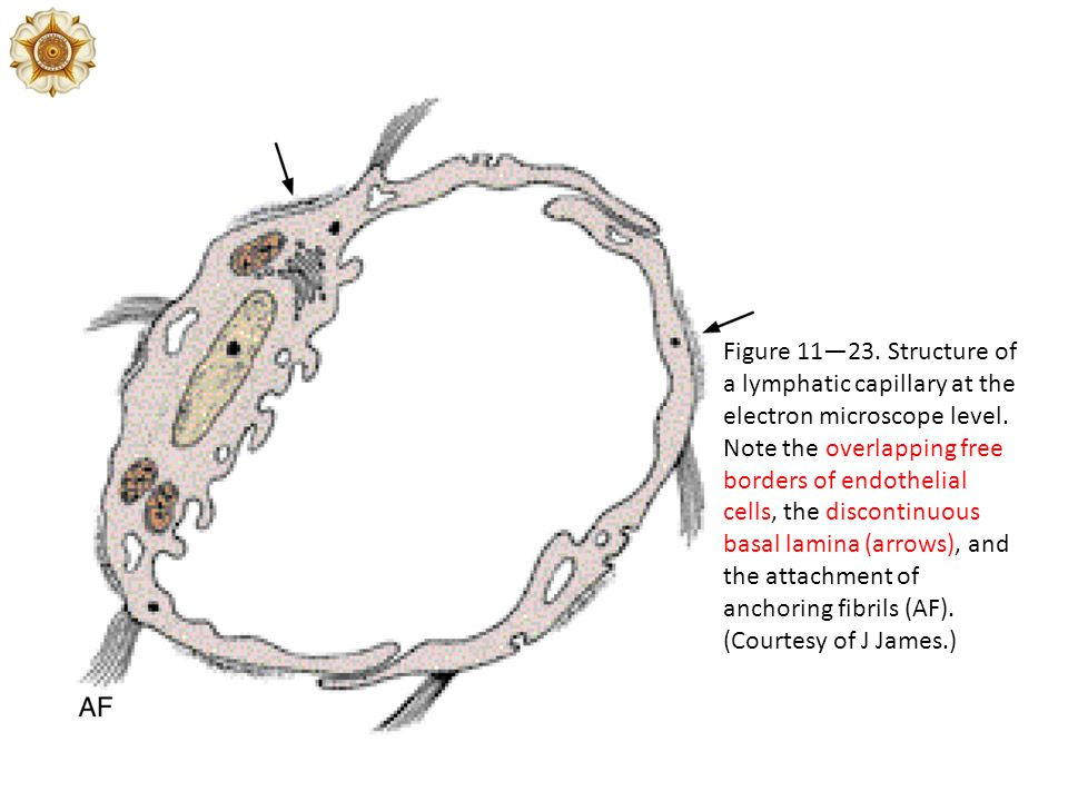 Figure 11—23. Structure of a lymphatic capillary at the electron microscope level.