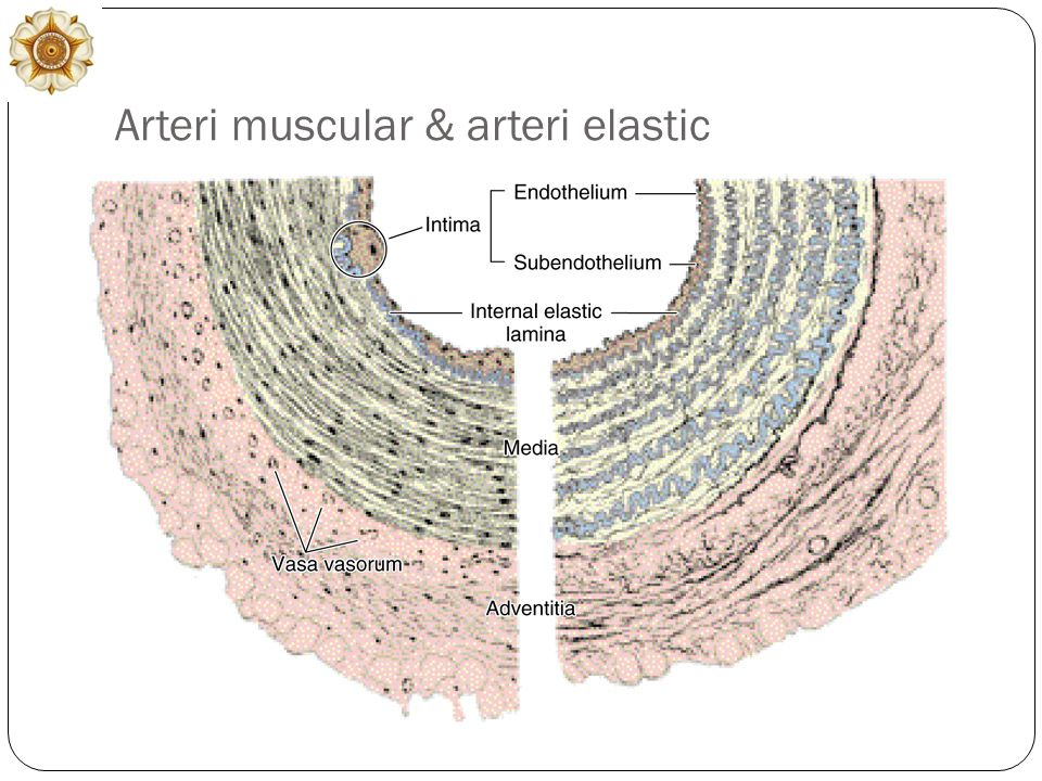 Arteri muscular & arteri elastic
