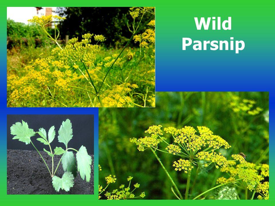 Wild Parsnip
