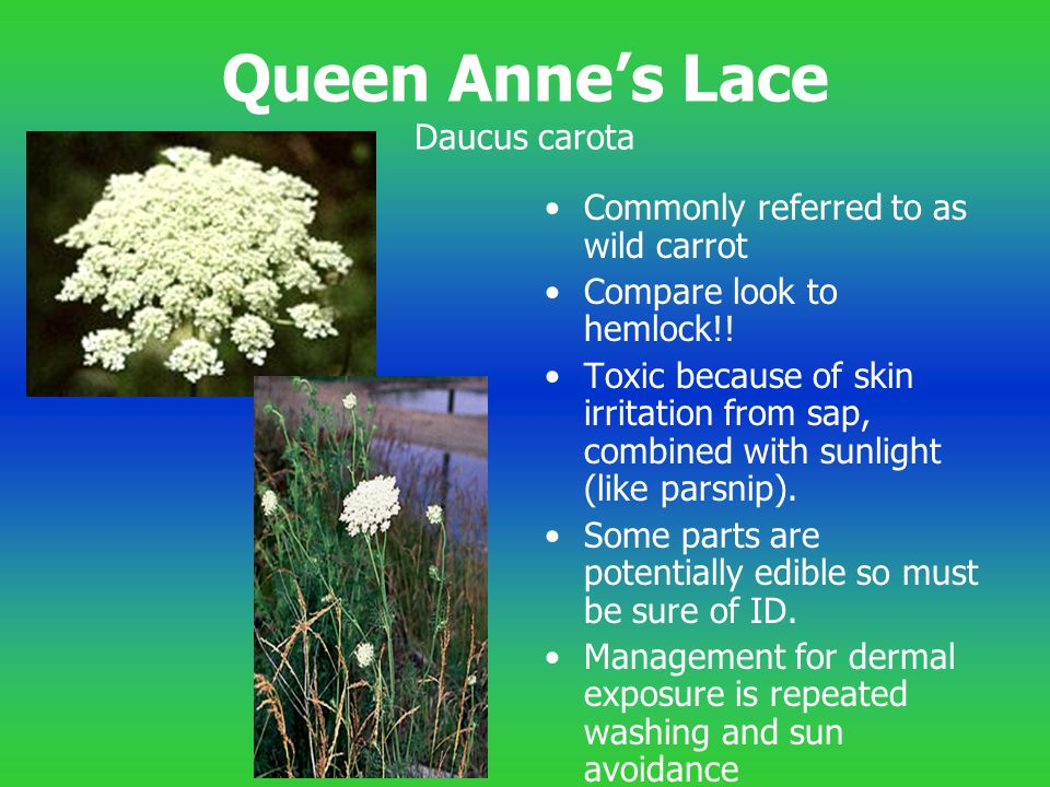 Queen Anne's Lace Daucus carota
