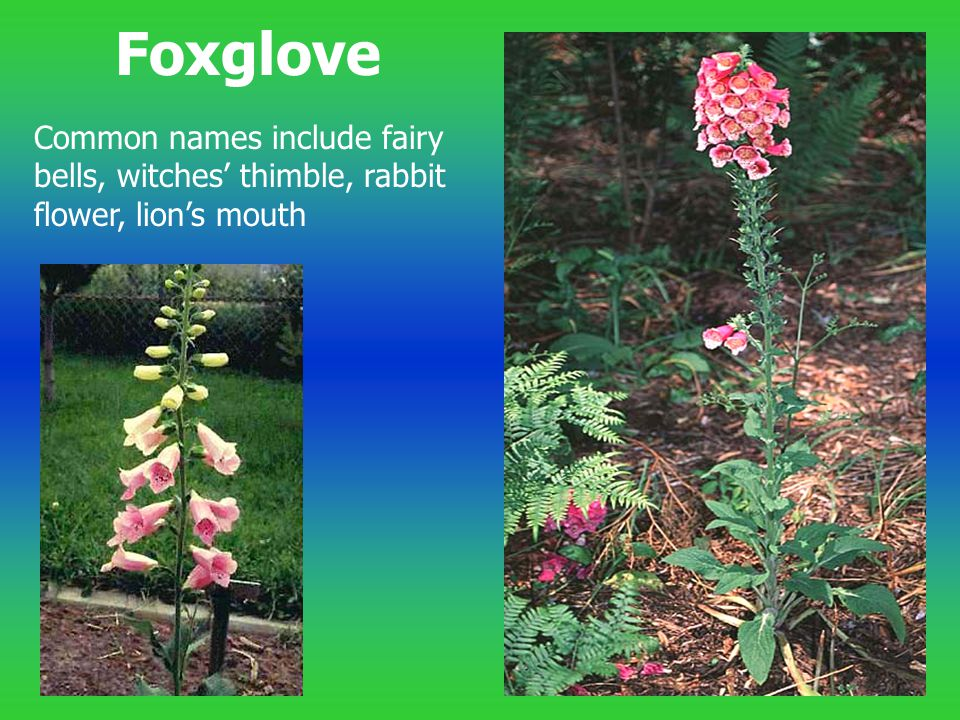 Foxglove Common names include fairy bells, witches' thimble, rabbit flower, lion's mouth