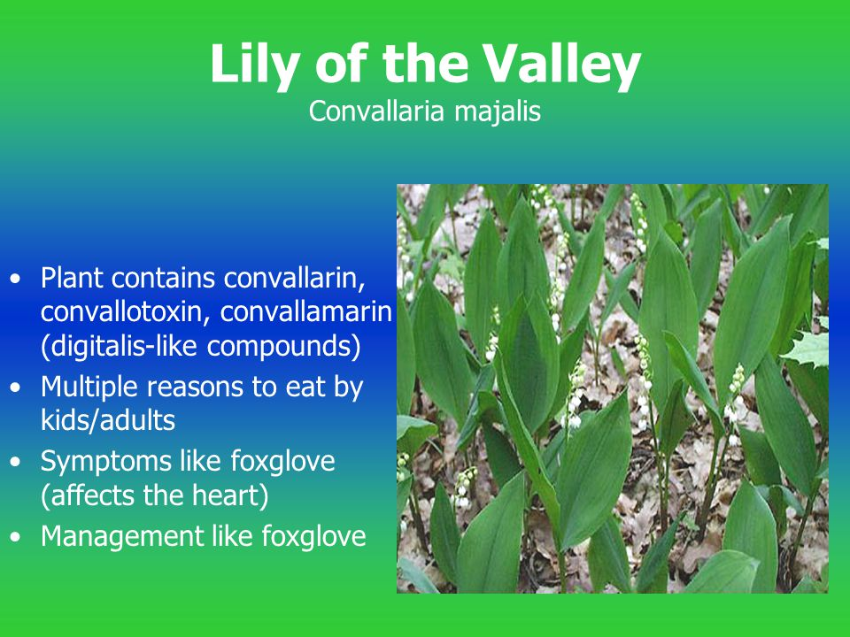 Lily of the Valley Convallaria majalis