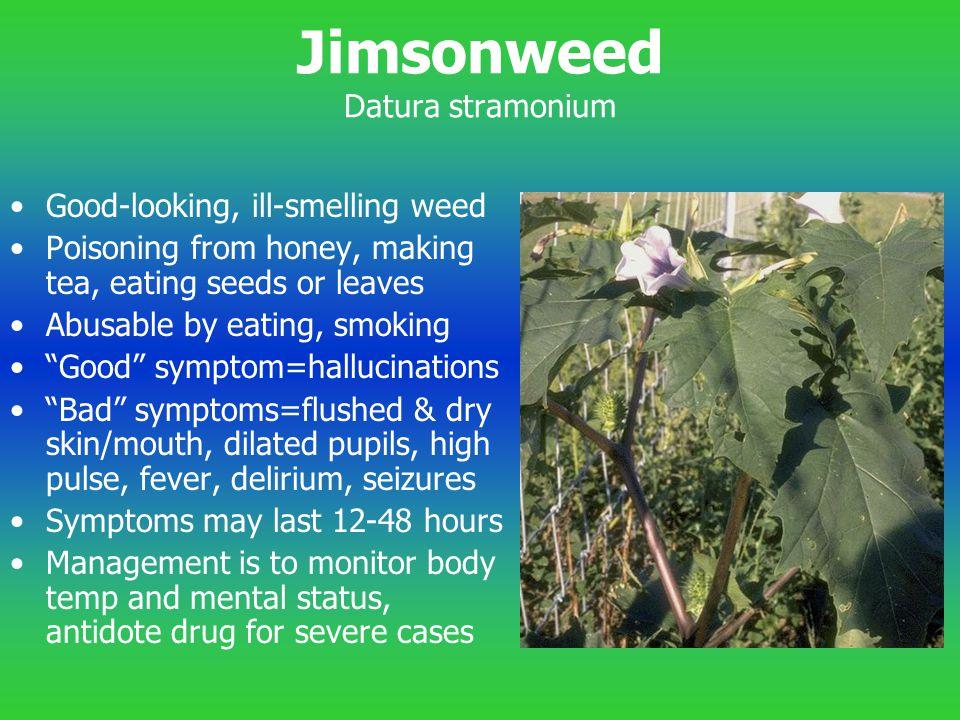 Jimsonweed Datura stramonium