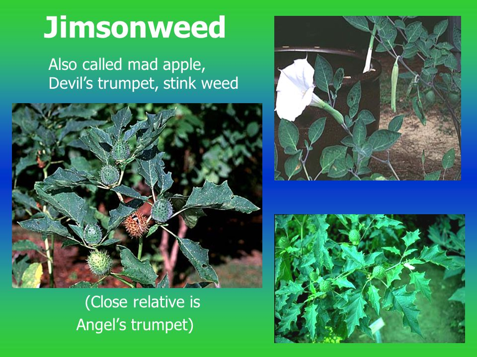 Jimsonweed Also called mad apple, Devil's trumpet, stink weed