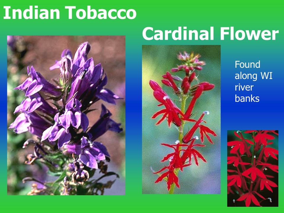 Indian Tobacco Cardinal Flower