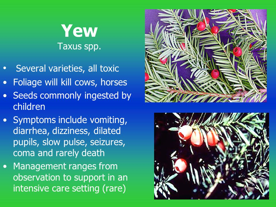 Yew Taxus spp. Several varieties, all toxic