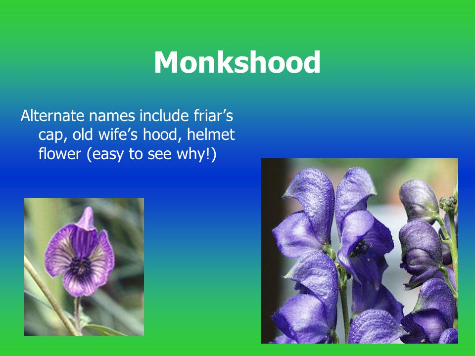 Monkshood Alternate names include friar's cap, old wife's hood, helmet flower (easy to see why!)