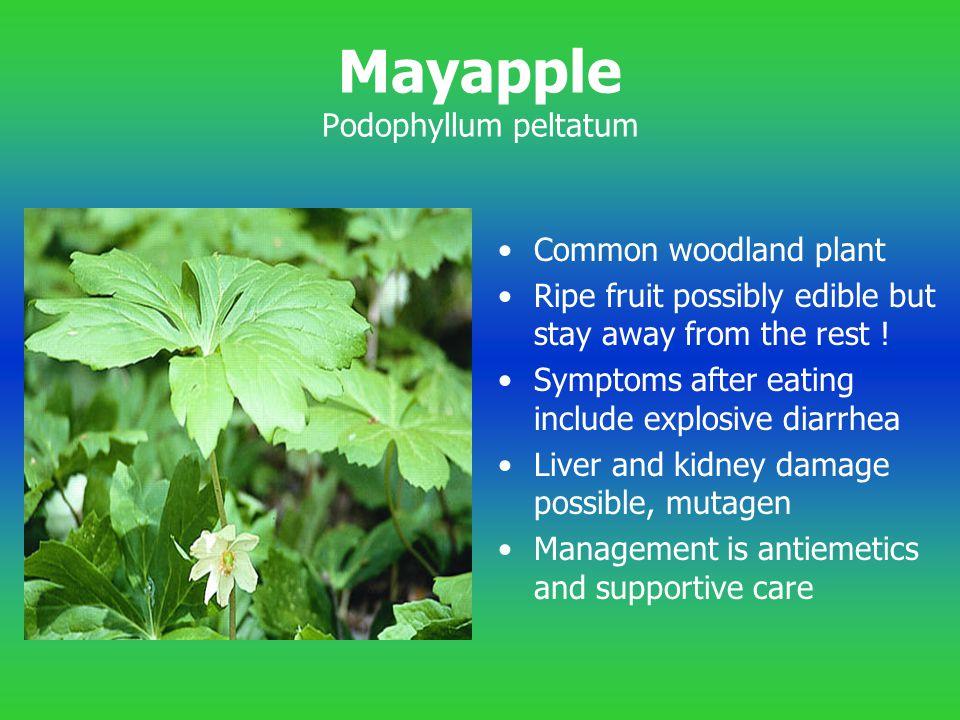 Mayapple Podophyllum peltatum