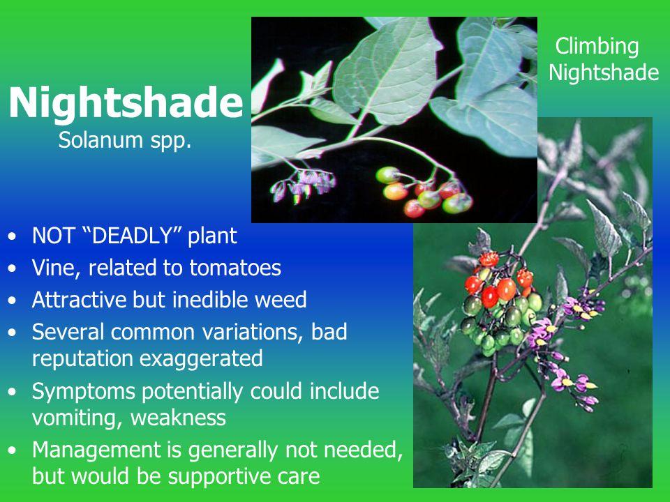 Nightshade Solanum spp.