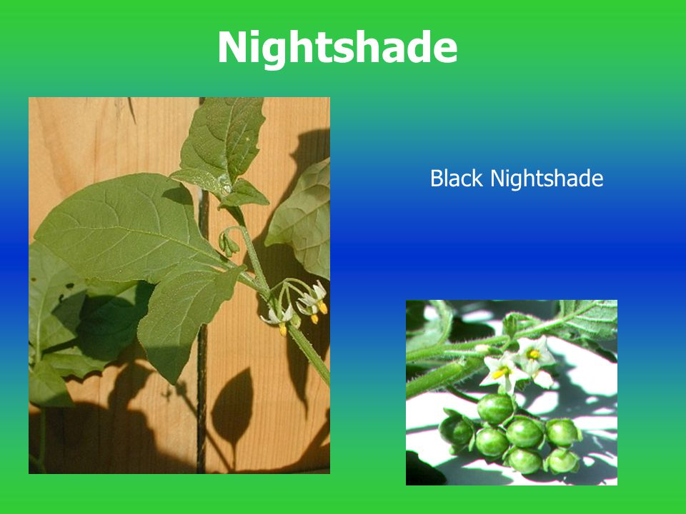 Nightshade Black Nightshade