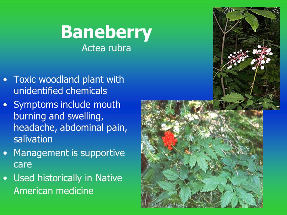 Baneberry Actea rubra Toxic woodland plant with unidentified chemicals