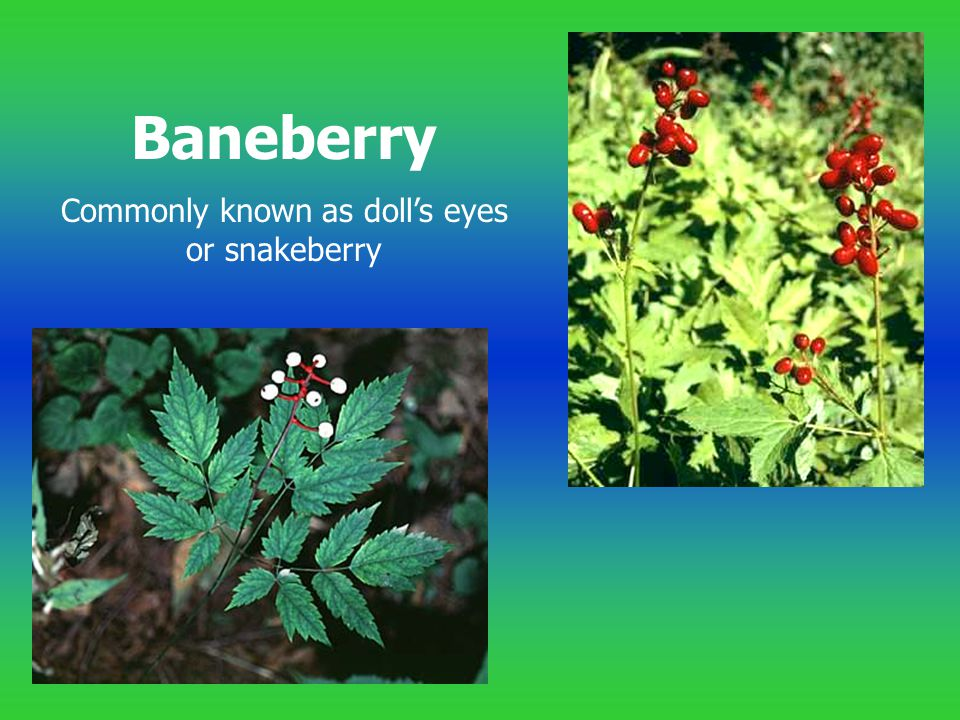 Commonly known as doll's eyes or snakeberry