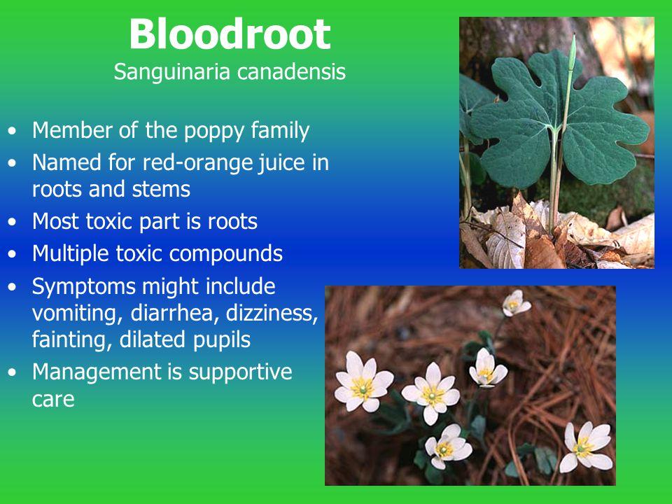 Bloodroot Sanguinaria canadensis