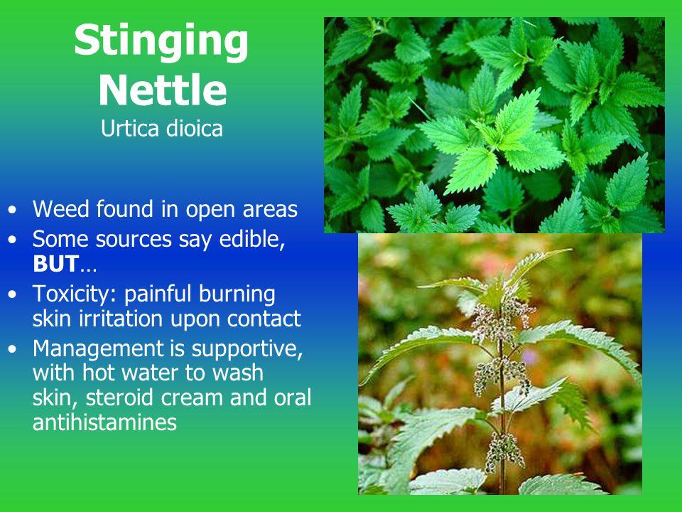 Stinging Nettle Urtica dioica