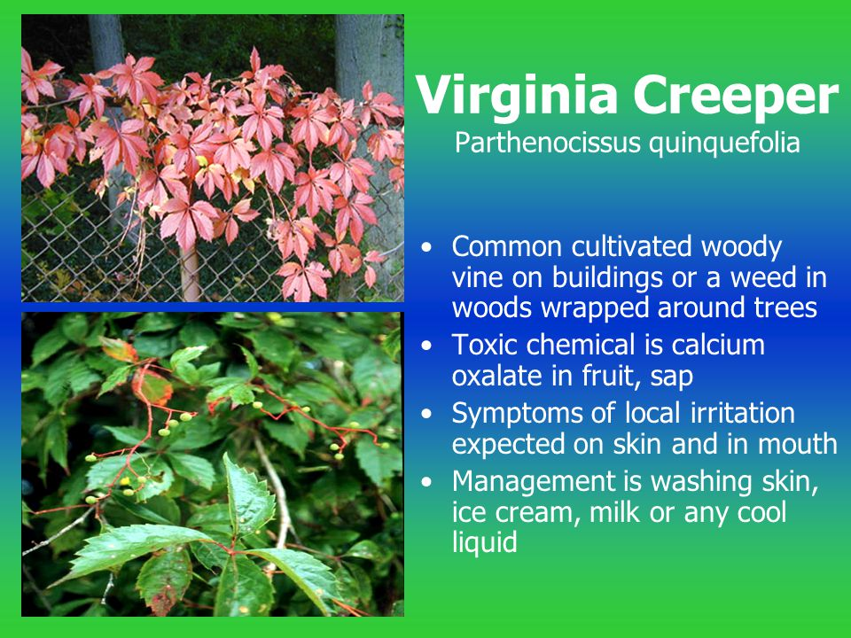 Virginia Creeper Parthenocissus quinquefolia