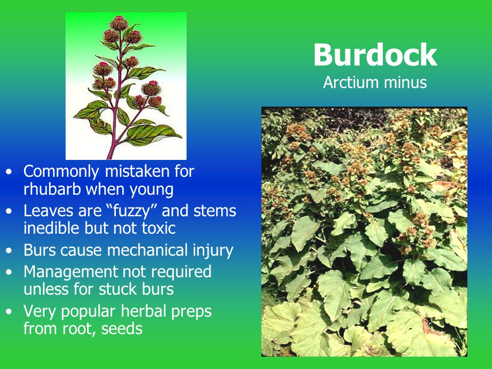 Burdock Arctium minus Commonly mistaken for rhubarb when young