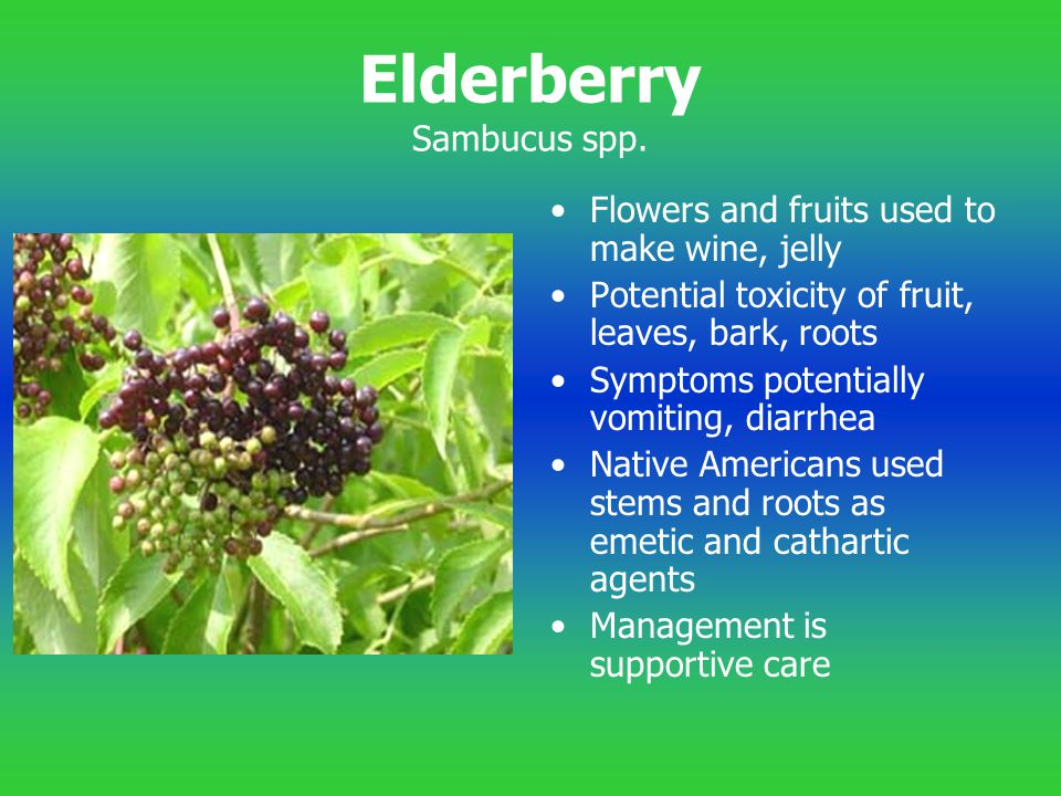 Elderberry Sambucus spp.