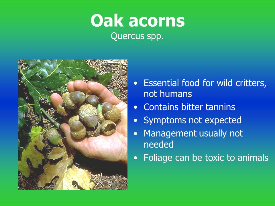 Oak acorns Quercus spp. Essential food for wild critters, not humans