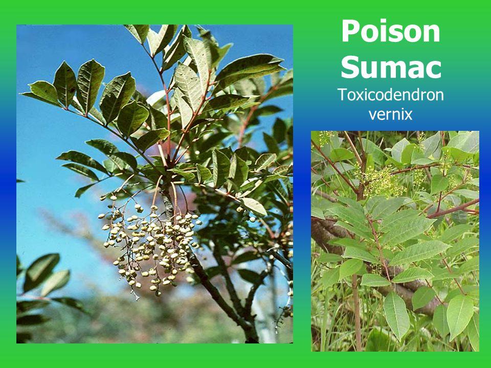 Poison Sumac Toxicodendron vernix