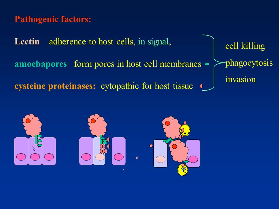 … Pathogenic factors: Lectin adherence to host cells, in signal,