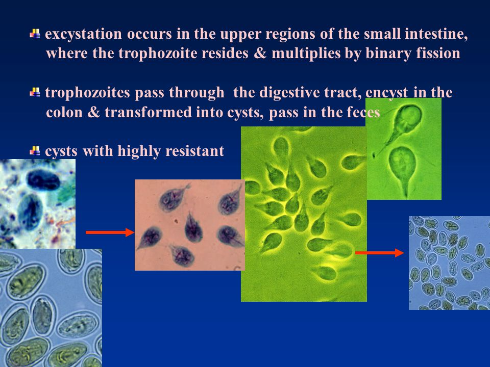 excystation occurs in the upper regions of the small intestine,