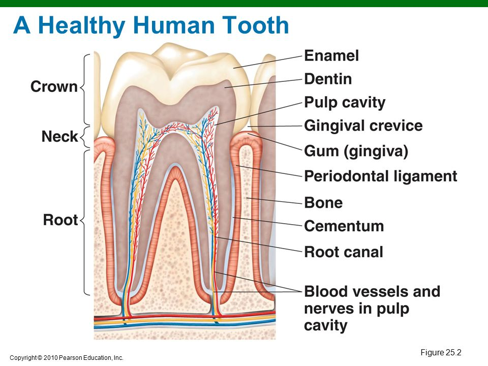 A Healthy Human Tooth Figure 25.2