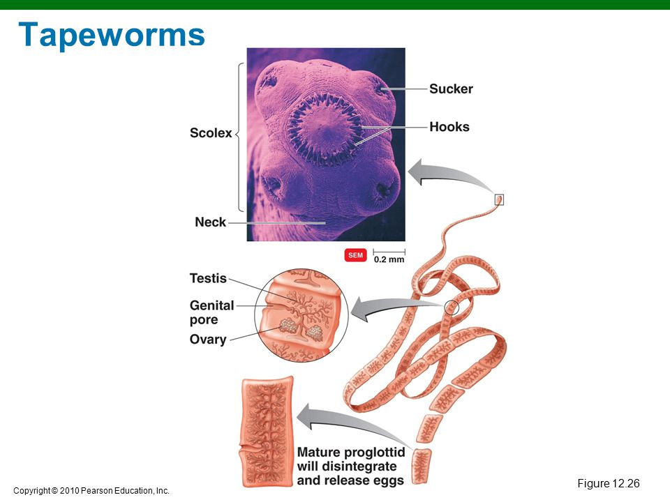 Tapeworms Figure 12.26