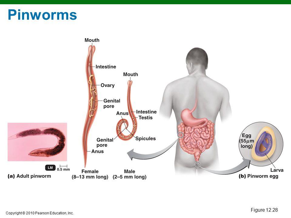Pinworms Figure 12.28