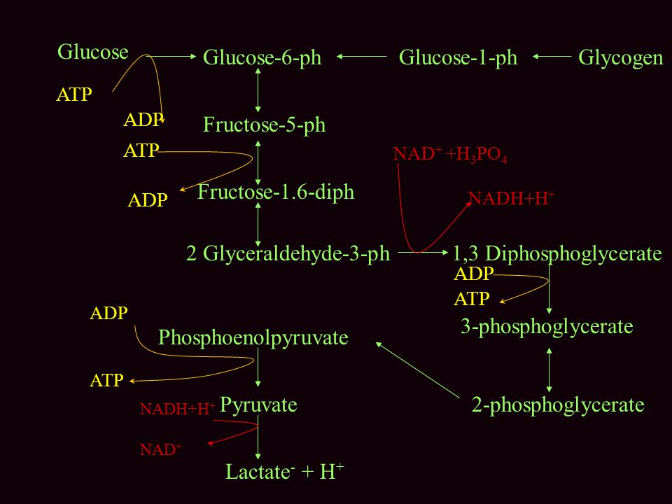 Glucose Glucose-6-ph Glucose-1-ph Glycogen Fructose-5-ph