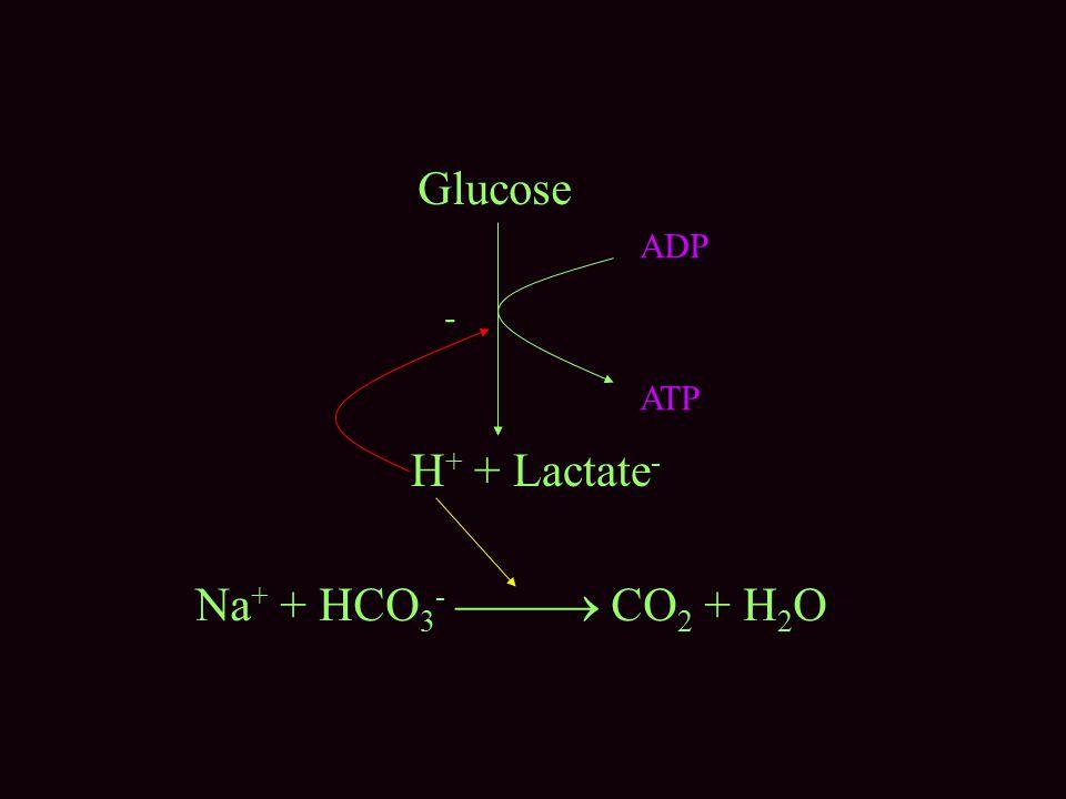 Glucose ADP ATP - H+ + Lactate- Na+ + HCO3-  CO2 + H2O