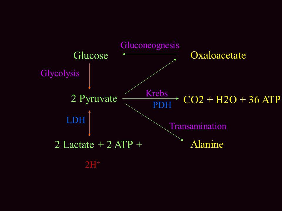 Glucose Oxaloacetate 2 Pyruvate CO2 + H2O + 36 ATP 2 Lactate + 2 ATP +