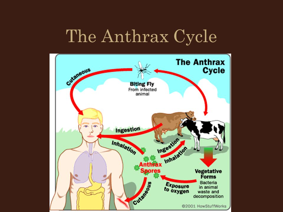 The Anthrax Cycle