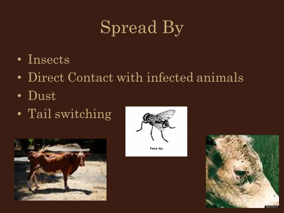 Spread By Insects Direct Contact with infected animals Dust