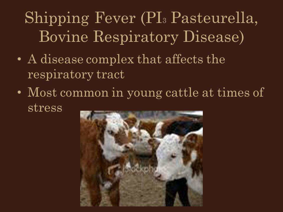 Shipping Fever (PI3 Pasteurella, Bovine Respiratory Disease)
