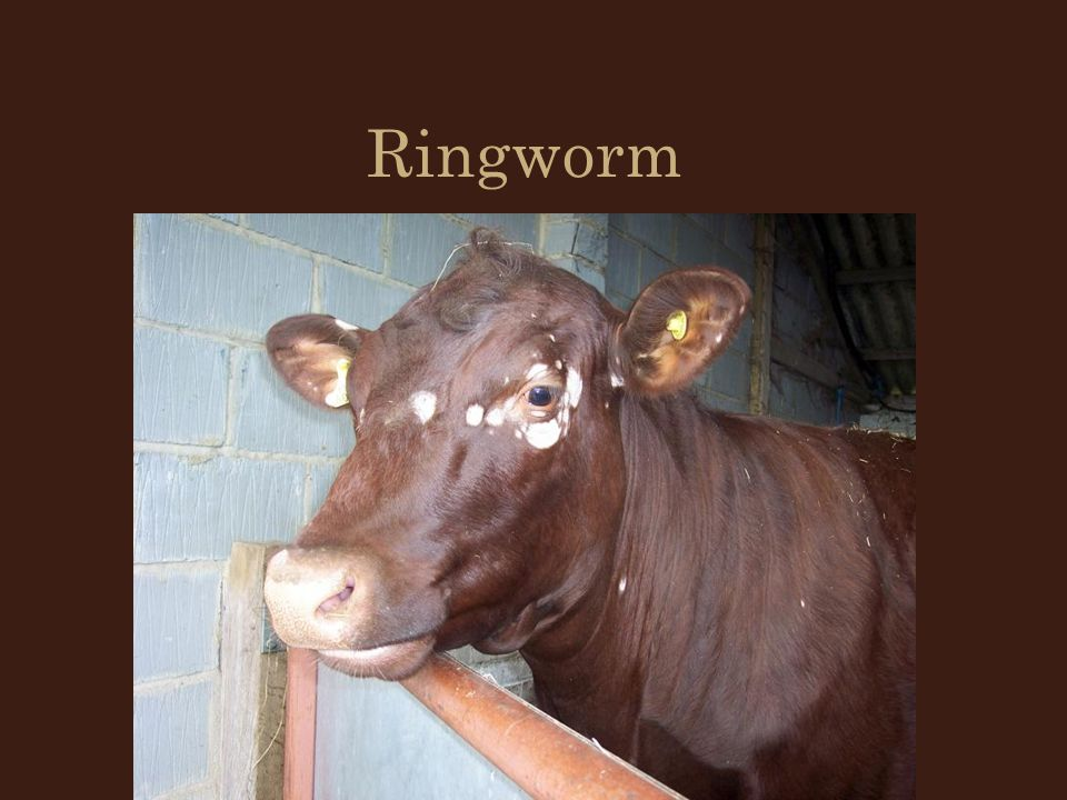 Diseases and parasites of cattle ppt video online download - Can ringworm spread in a swimming pool ...