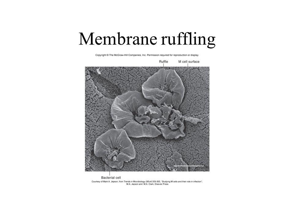 Membrane ruffling