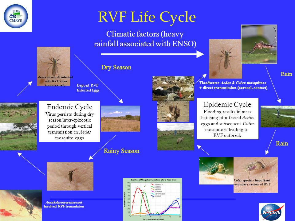 RVF Life Cycle Climatic factors (heavy rainfall associated with ENSO)