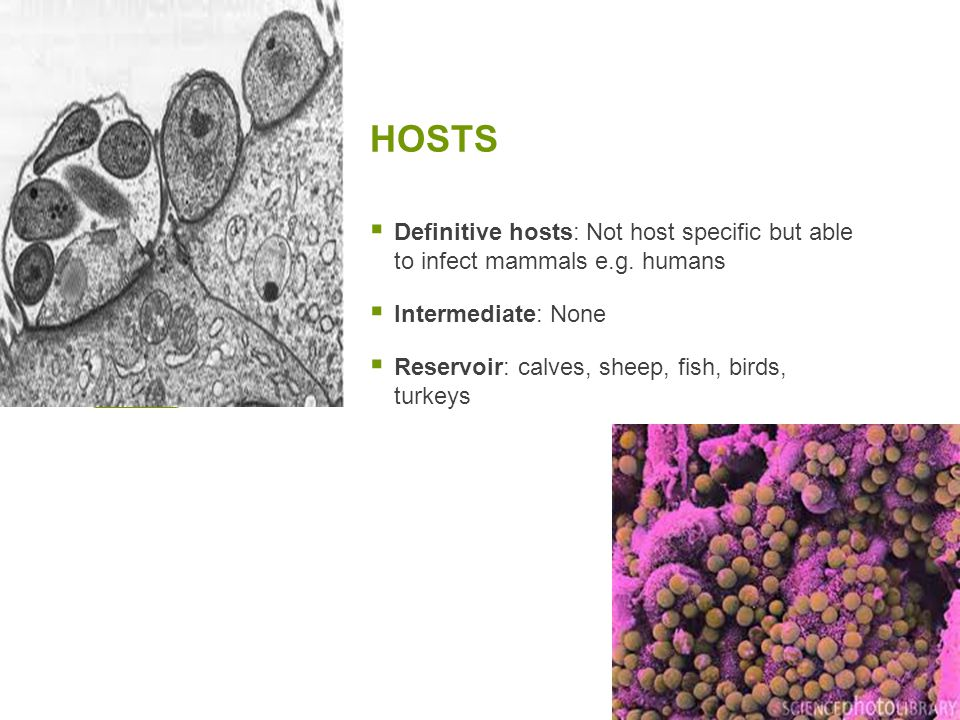 HOSTS Definitive hosts: Not host specific but able to infect mammals e.g. humans. Intermediate: None.