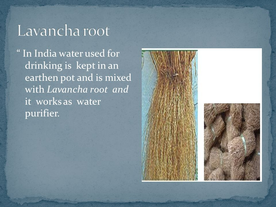 Lavancha root In India water used for drinking is kept in an earthen pot and is mixed with Lavancha root and it works as water purifier.