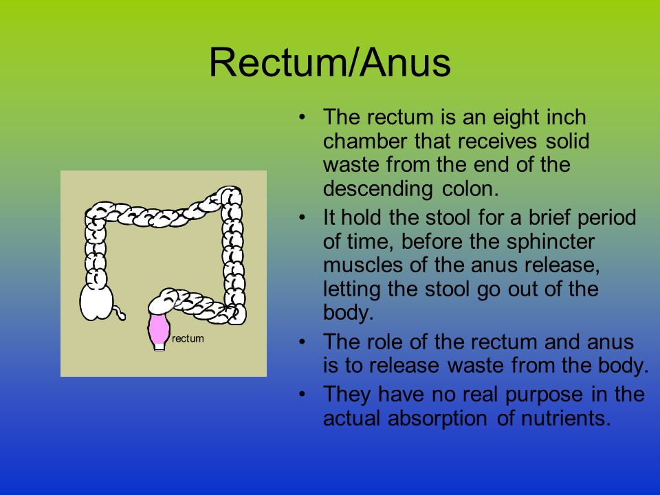 Rectum/Anus The rectum is an eight inch chamber that receives solid waste from the end of the descending colon.