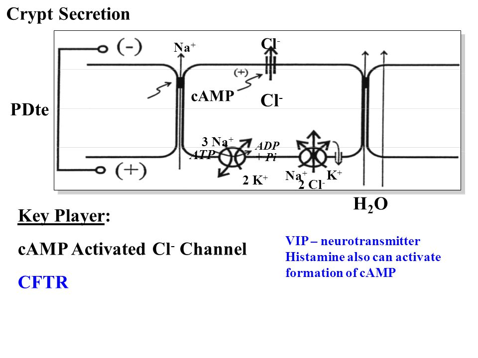 cAMP Activated Cl- Channel CFTR