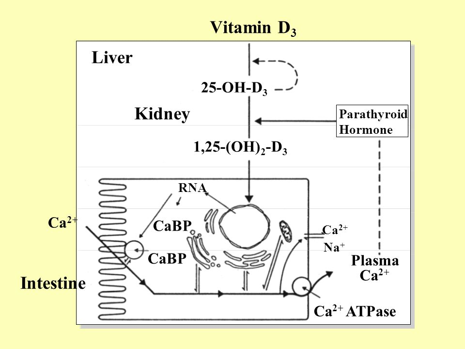Vitamin D3 Liver Kidney Intestine 25-OH-D3 1,25-(OH)2-D3 Ca2+ CaBP