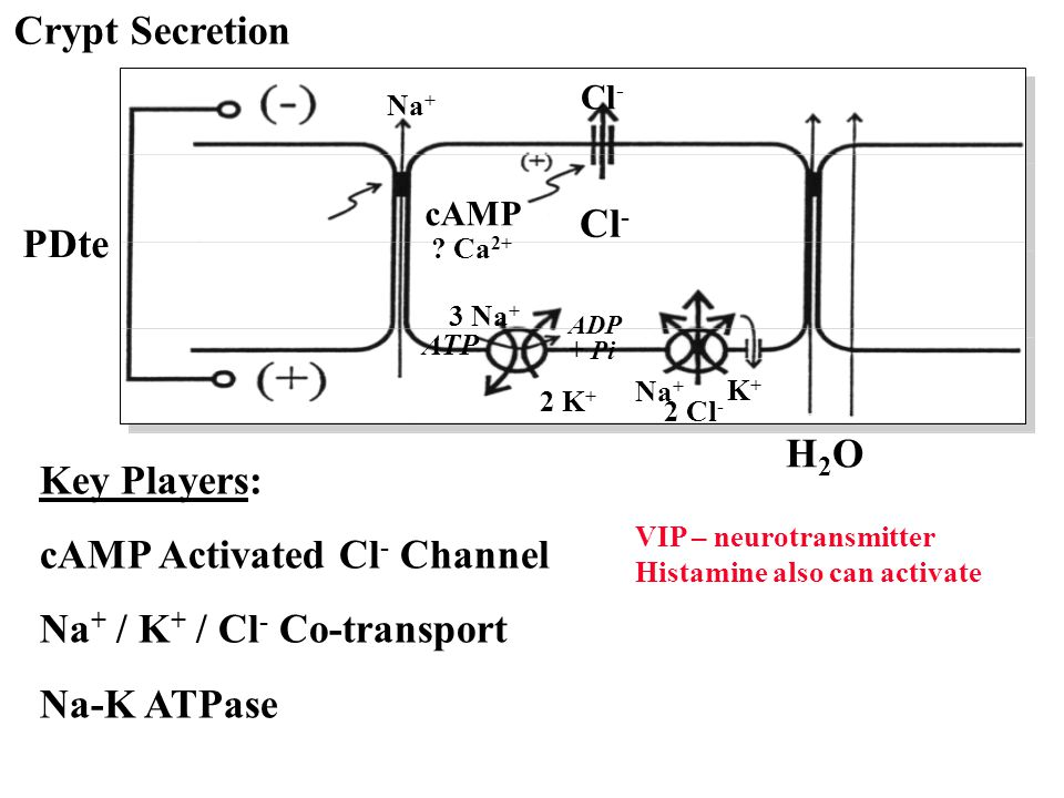 cAMP Activated Cl- Channel Na+ / K+ / Cl- Co-transport Na-K ATPase