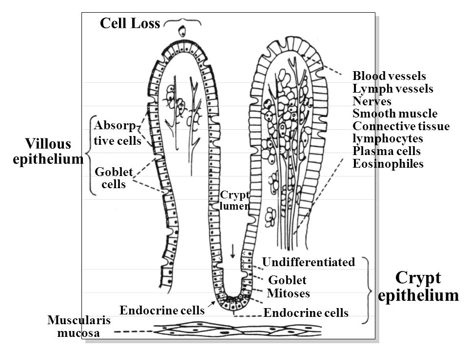 Crypt epithelium Cell Loss Villous epithelium Blood vessels