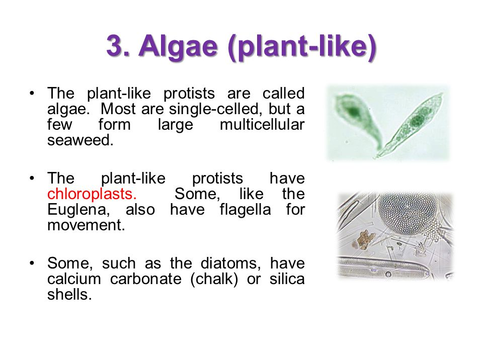3. Algae (plant-like) The plant-like protists are called algae. Most are single-celled, but a few form large multicellular seaweed.