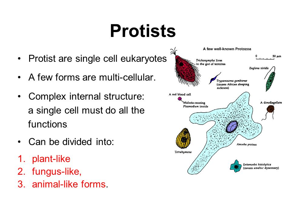 Protists Protist are single cell eukaryotes.