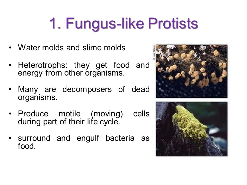 1. Fungus-like Protists Water molds and slime molds